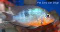 Firemouth Cichlid - Thorichthys meeki