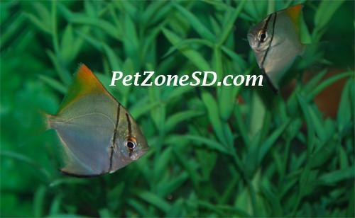 mono argentus brackish water tropical fish