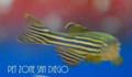 Zebra Danio (Danio rerio)