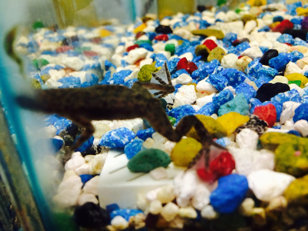 Freshwater Aquatic Pets African Dwarf Frog For Sale