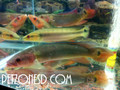 Red Pike Cichlids