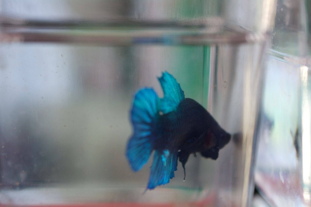 Siamese Fighting Fish: Giant Plakat Betta, Short-Tail Betta Fish
