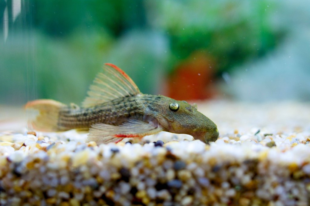 Freshwater Tropical Fish: L024 Red Fin Cactus Pleco