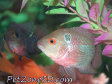 Two of our Red Dragon Flowerhorn fry hanging out next to each other!