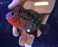 Red Dragon Flowerhorn - G1