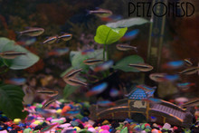 a group of Black Neon Tetras hanging out with some gorgeous Neon Tetra fishes!