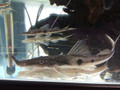 Sturgeon Catfish / Zorro Catfish (Platystomatichthys sturio) - Medium