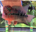 Red Dragon Flowerhorn - D3