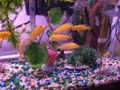 Electric Yellow Lab Cichlid - Small (Labidochromis caeruleus)