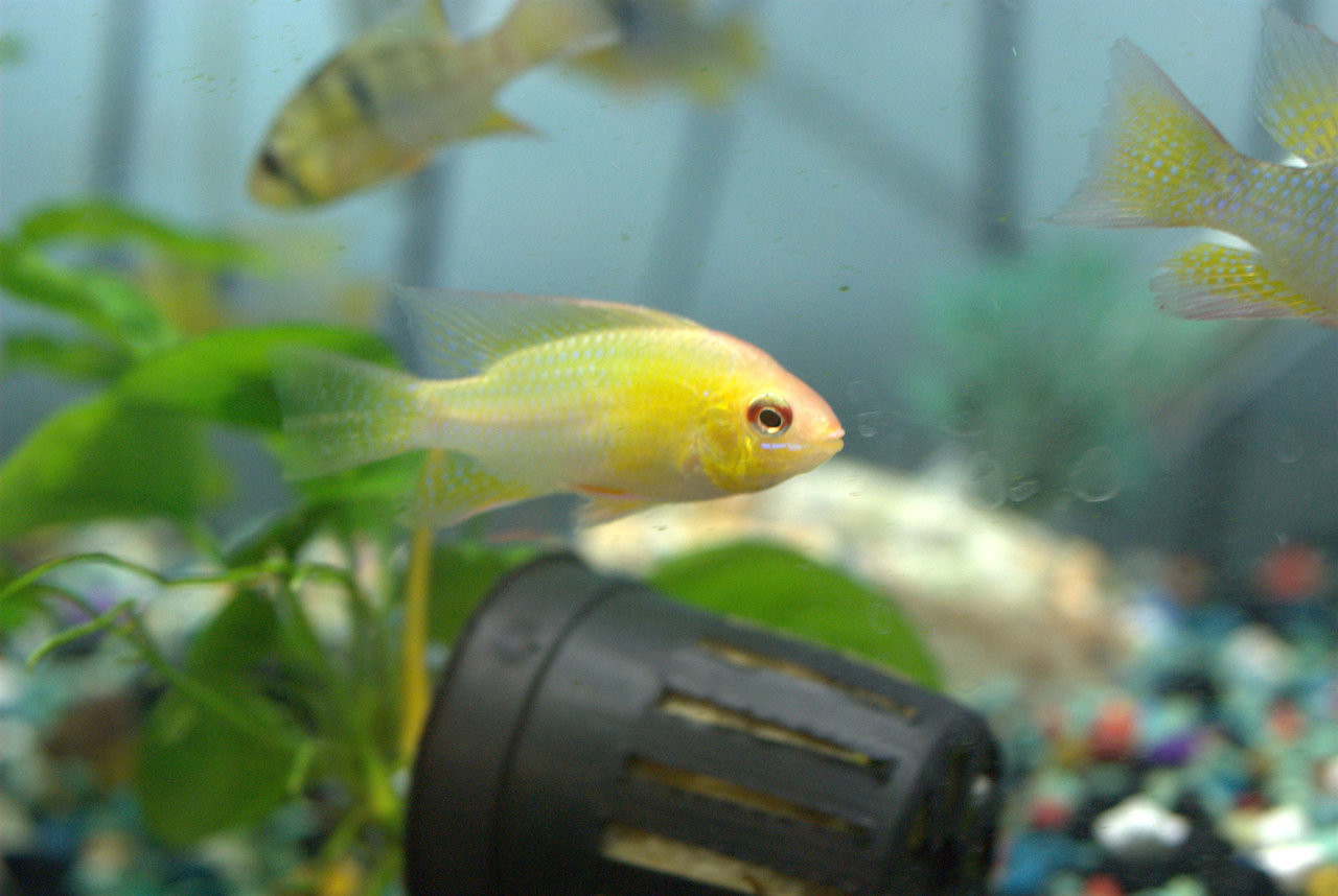 South American Cichlids German Gold Ram Papiliochromis