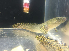 ornate bichir picture taken, current as of Feb. 2019.
