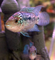 Electric Blue Jack Dempsey (EBJD) - Large