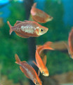 Red Irian Rainbowfish