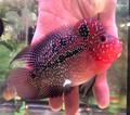 Red Dragon Flowerhorn (E)