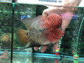 Short-Body Red Dragon Flowerhorn - F