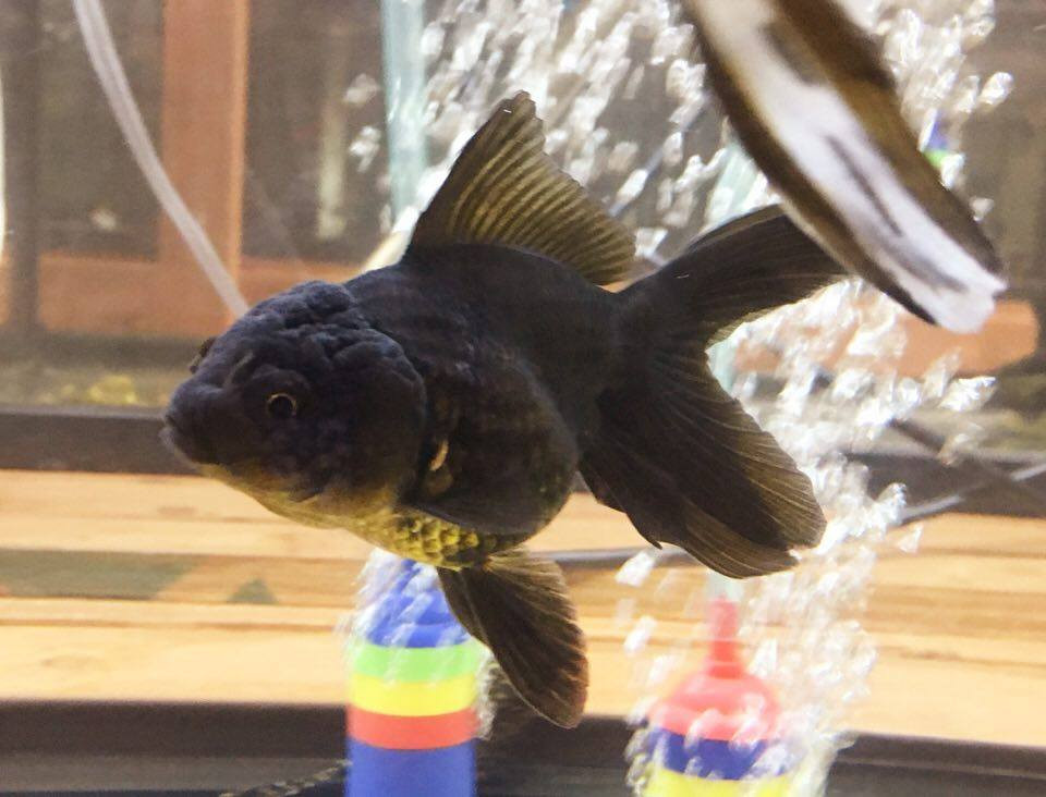 Goldfish For Sale: Black Oranda Goldfish