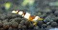 Crystal Black Shrimp (Bee Shrimp)