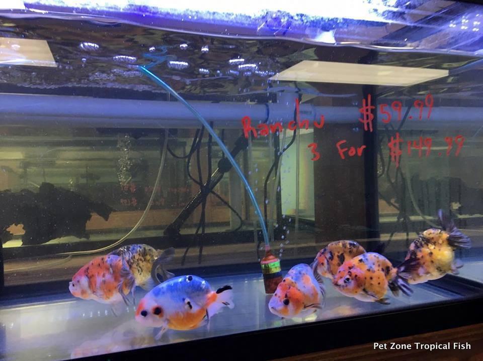 Goldfish For Sale: Calico Ranchu Goldfish