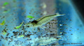 Lot of 5 Amano Shrimp - Small