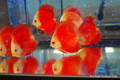 Melon Red Discus, Medium