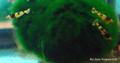 Black Tiger Bee Shrimp