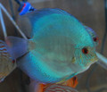 Blue Diamond Discus, XL
