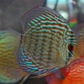 Blue Snakeskin Discus, Large