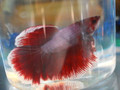 Rose Tail Betta