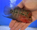 Red Dragon Flowerhorn - KR