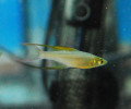 Featherfin Rainbowfish (Threadfin Rainbow)