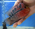 Red Dragon Flowerhorn - A2