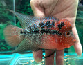 "Red Dragon Flowerhorn ""G"""