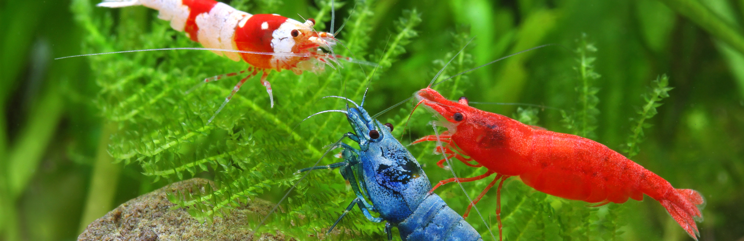 The Shrimp Tank | Freshwater Invertebrates For Sale ... Shrimps In Aquarium