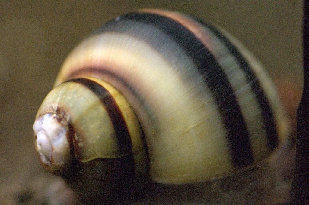 Spixi Snail