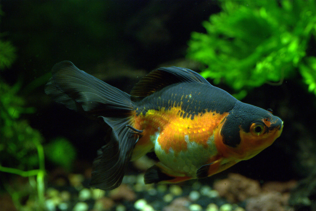 Moonpie the Goldfish