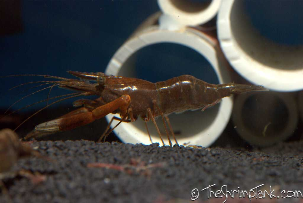 red-claw-macro-shrimp-11.jpg