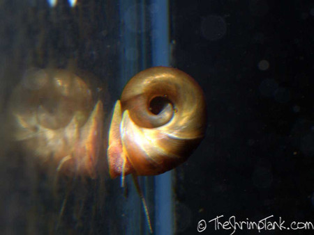 Brown Ramhorn snails help clean your tank.