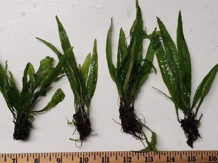 Narrow Leaf Java Ferns are excellent low light plants for shrimp tanks.
