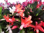 christmas-cactus-flowers-150.jpg
