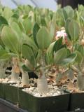 Adenium Obesum Succulent Plant