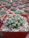 Aloinopsis Schooneesii Suculent Plant