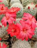 Mammillaria Senilis Cactus Plant