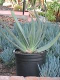 Plicatilis Aloe Plant