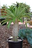 Pachypodium Hybrid Cactus Plant