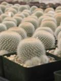Rebutia Muscula Cactus Plant