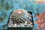 Sulcorebutia Arenacea Cactus Plants