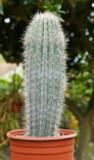 Cardon Large Cactus Plant