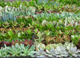50 Mini Succulent Plants Party Favor Collection