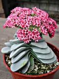 Crassula Morgan's Beauty succulent plant