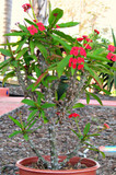 Crown of Thorns Euphorbila Milii Succulent Plant